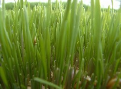 sprouted_wheatgrass-250×183.jpg