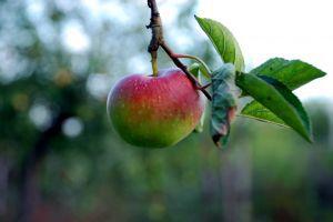 867683_apple.jpg