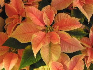 690992_poinsettias_5.jpg