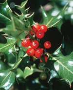 holly-berry-plant.jpg