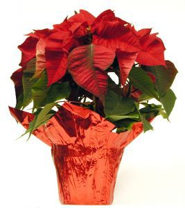 poinsettia_plant-in-foil.jpg