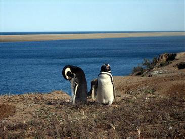 penguins-in-patagonia-argentina