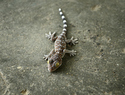 Indonesian woman gave birth to a… gecko?